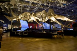 Two articulated sperm whale skeletons are a highlight of the Whales Tohora exhibition. © Museum of New Zealand Te Papa Tongarewa, 2008