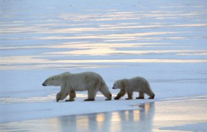 A Polar Bear and her cub cross the formed sea ice