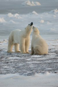 Two polar bears playing in the snow
