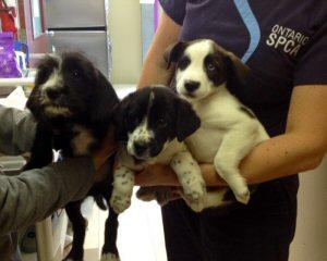 Three puppies left at the Ontario SPCA Stormont, Dundas & Glengarry Branch