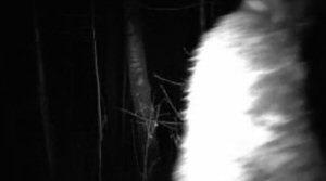 Bigfoot, trail camera, conservation site, Alberta Conservation Association