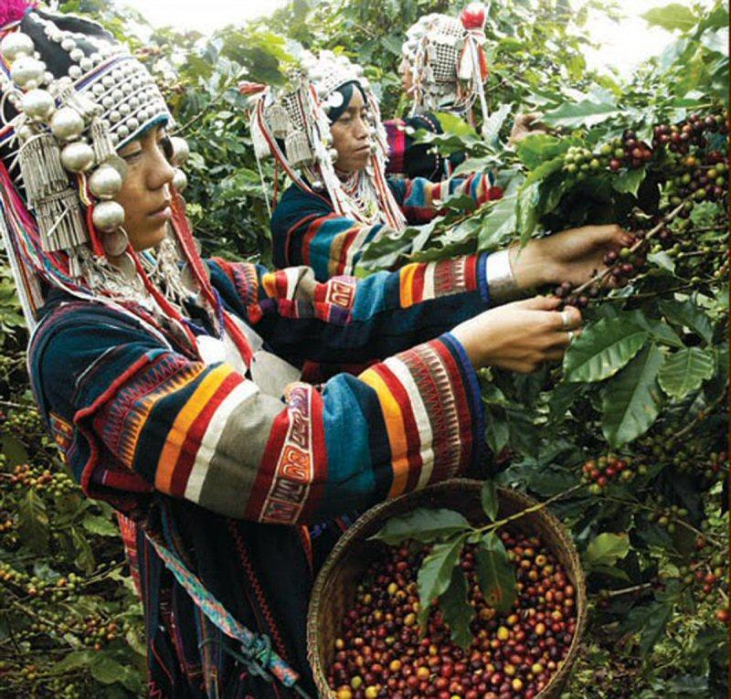 Akha Hill Tribe Coffee