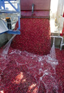 Dunnberry Farms delivers some of the first cranberries of the 2016 harvest to Ocean Spray's receiving station in Richmond, BC, Tuesday, September 27, 2016. Dunnberry Farms was formerly part of Mayberry Farms and has now been passed on to a third generation of cranberry growers. The Canadian Press Images PHOTO/Ocean Spray Cranberries