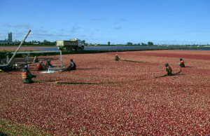 Workers harvest cranberries at Richberry Group in Richmond, BC, Tuesday, September 27, 2016, the beginning of the British Columbia cranberry harvesting season. Over the next six weeks, the province will harvest close to 100,000,000 pounds or 45,000,000 kilograms of cranberries most of which are made into Ocean Spray(R) products. The Canadian Press Images PHOTO/Ocean Spray Cranberries