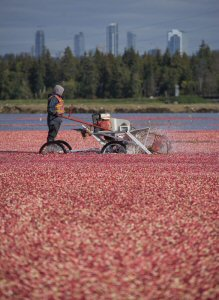 A worker harvests cranberries at Richberry Group in Richmond, BC, Tuesday, September 27, 2016, the beginning of the British Columbia cranberry harvesting season. The Canadian Press Images PHOTO/Ocean Spray Cranberries