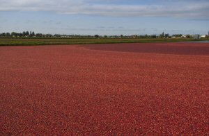Cranberries floating in the water at Harvest Red Farms in Richmond, BC, Tuesday, September 27, 2016. Harvest Red Farms is one of more than 100 Canadian Grower-Owners of the Ocean Spray Cooperative. The Canadian Press Images PHOTO/Ocean Spray Cranberries