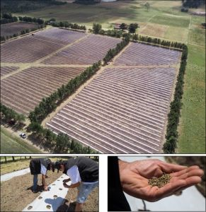 Figure 4: Images from ICC Labs' outdoor sowing in Canelones, Uruguay.