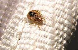 Bedbug on seam