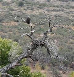 New nest in Verde Canyon