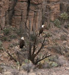 Eagles in the Verde Canyon