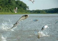 Les sauts de la carpe argentée menacent les activités récréatives sur les voies navigables canadiennes