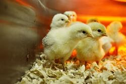 Chicks peep and peck through shavings inside a tank at a Tractor Supply Co. store. The rural lifestyle retailer is hosting Chick Days through April to introduce families to raising backyard chickens.