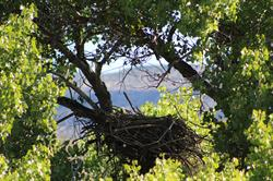 Eaglet in nest near Verde Canyon Railroad