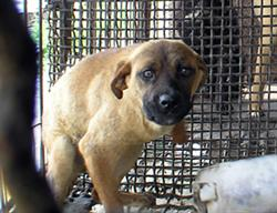 Caged dog in South Korean dog meat industry