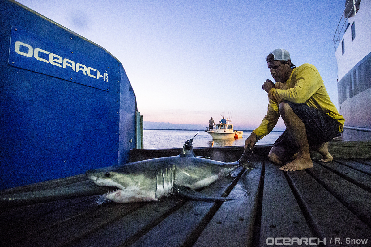 Ocearch tags and releases great white shark pups for the for Montauk shark fishing