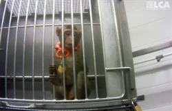 Macaque used in experiments at ITR research labs.