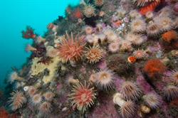 Gulf of St. Lawrence anemones. Alamy/Robert LaSalle